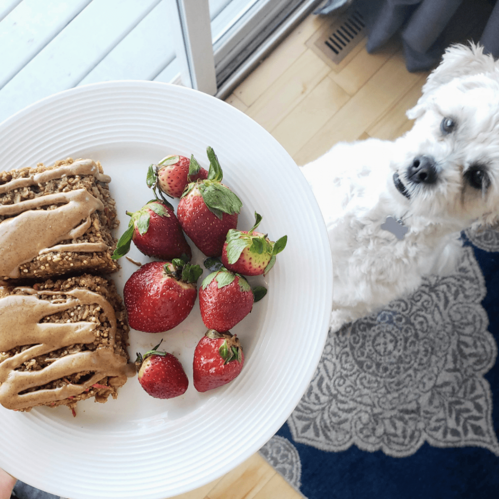 white plate with two carrot cake baked oatmeal bars and a white dog looking at the plate
